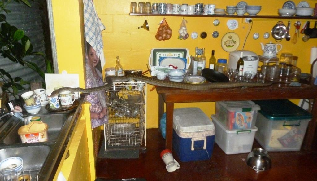 Amethystine python visiting kitchen at home near Cooktown Queensland. Photo © John Hill / Wikimedia Commons
