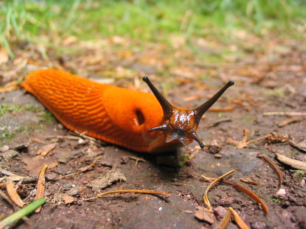 Arion rufus orange slug red slug. Photo Guillaume Brocker, Commons Wikimedia