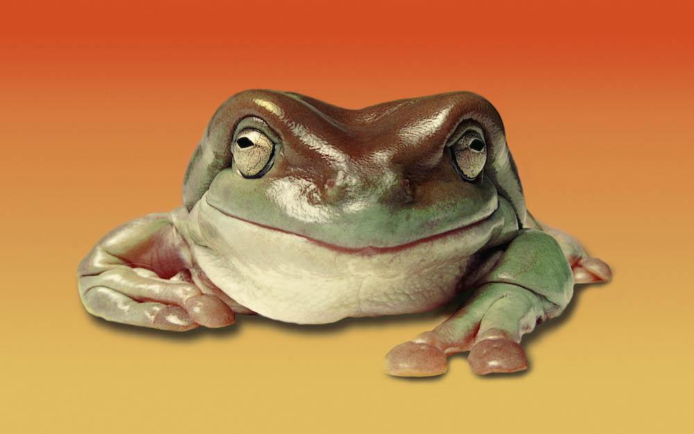 Australian Green Tree Frog (Litoria caerulea). Photo Animal Ark