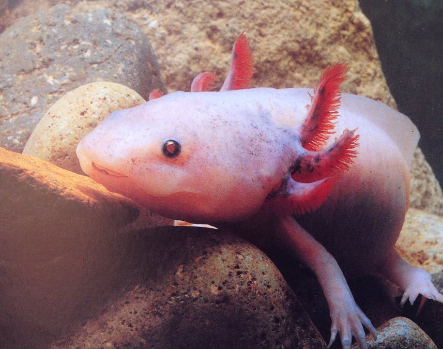 Axolotl. Photo: Animal Ark