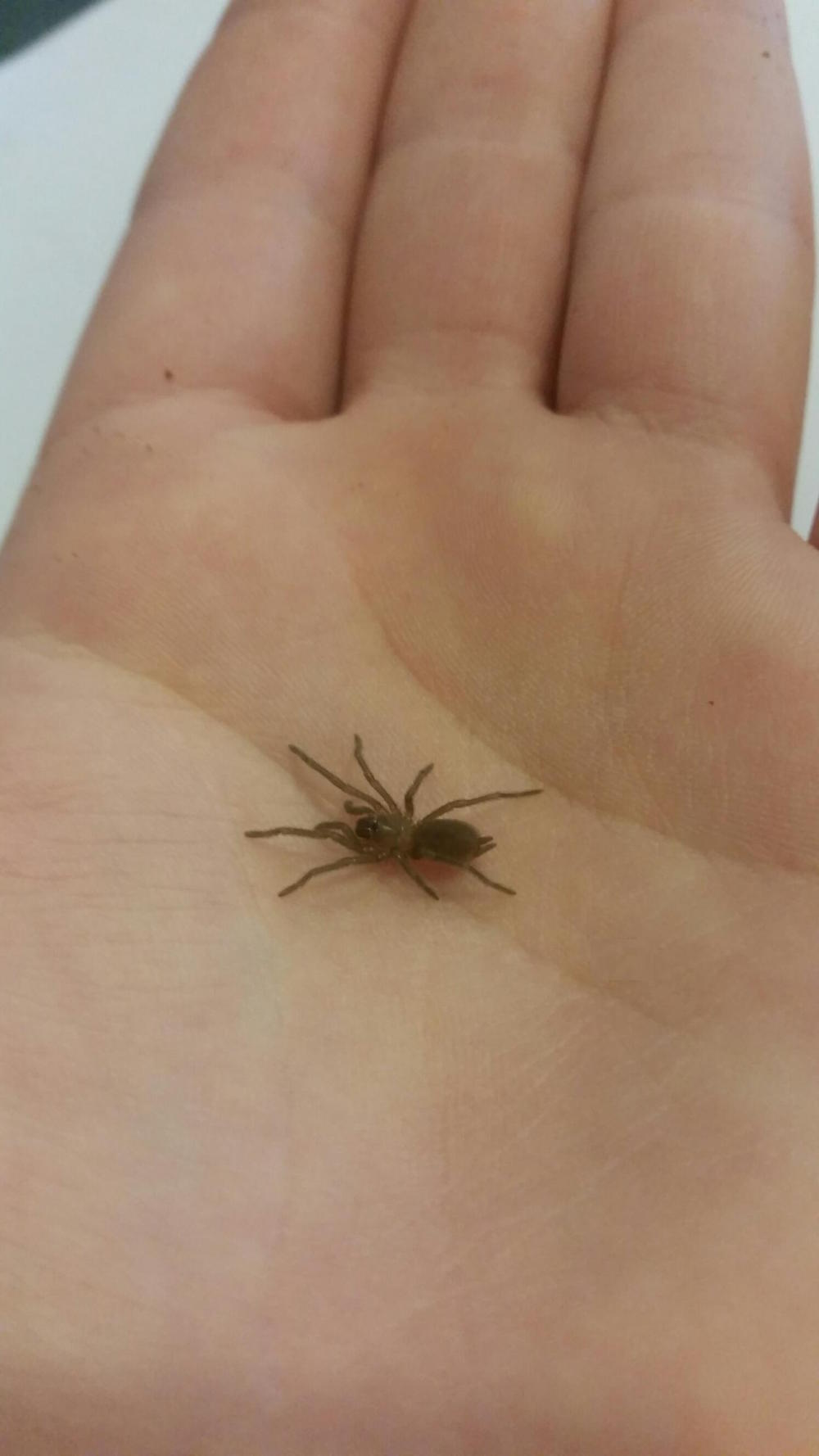 Baby tarantula on hand, 3 months old. Photo: Ziggy Nielsen, Animal Ark