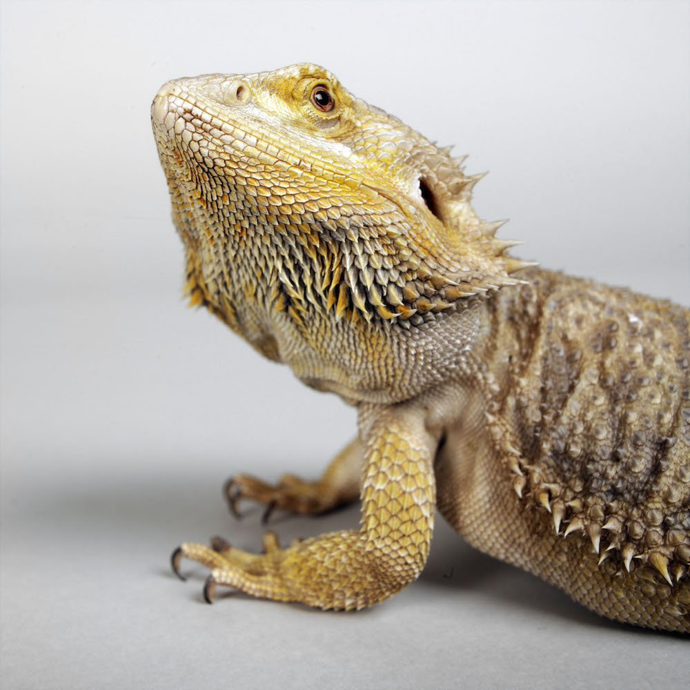 Bearded dragon close up. Photo © Animal Ark