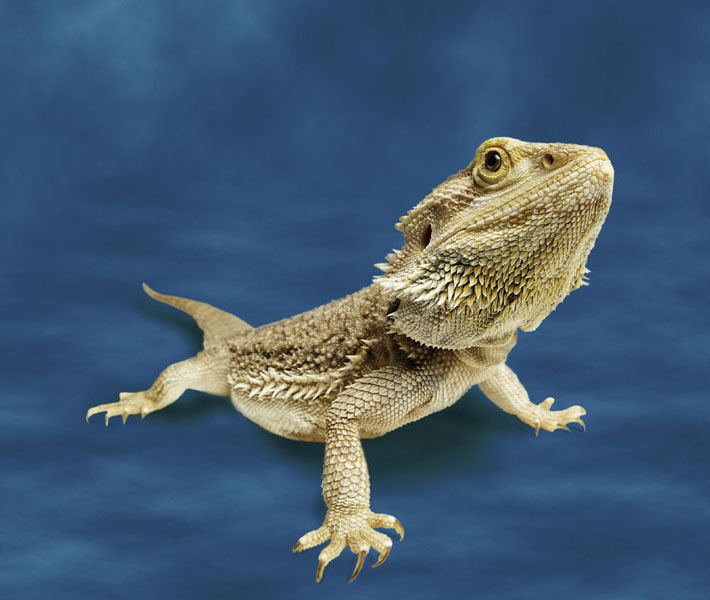 Bearded dragon. Photo © Animal Ark