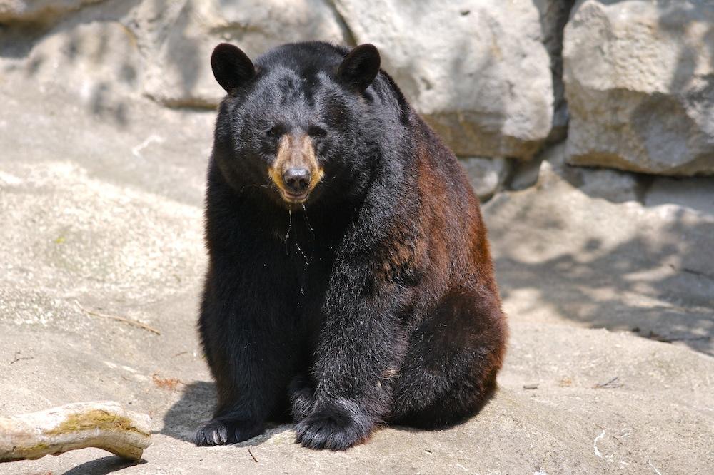 Black bear. Photo © Ryan Poplin (odie5533) originally posted to Flickr