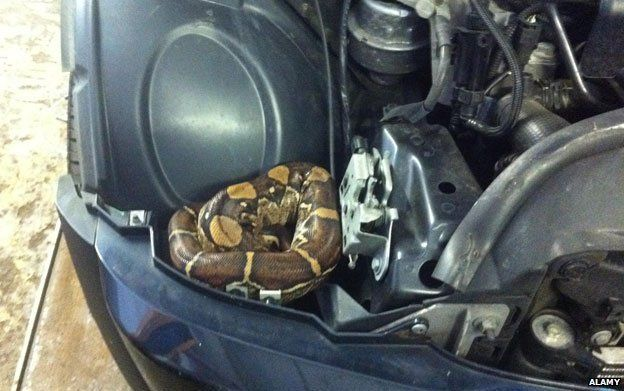 Boa constrictor found hiding in a Mini Cooper in Oxford, UK. Photo © Alamy/BBC
