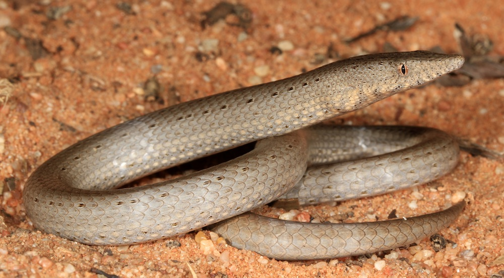 Burtons legless lizard (Lialis burtonis). Photo: Matt Clancy, Wikimediacommons