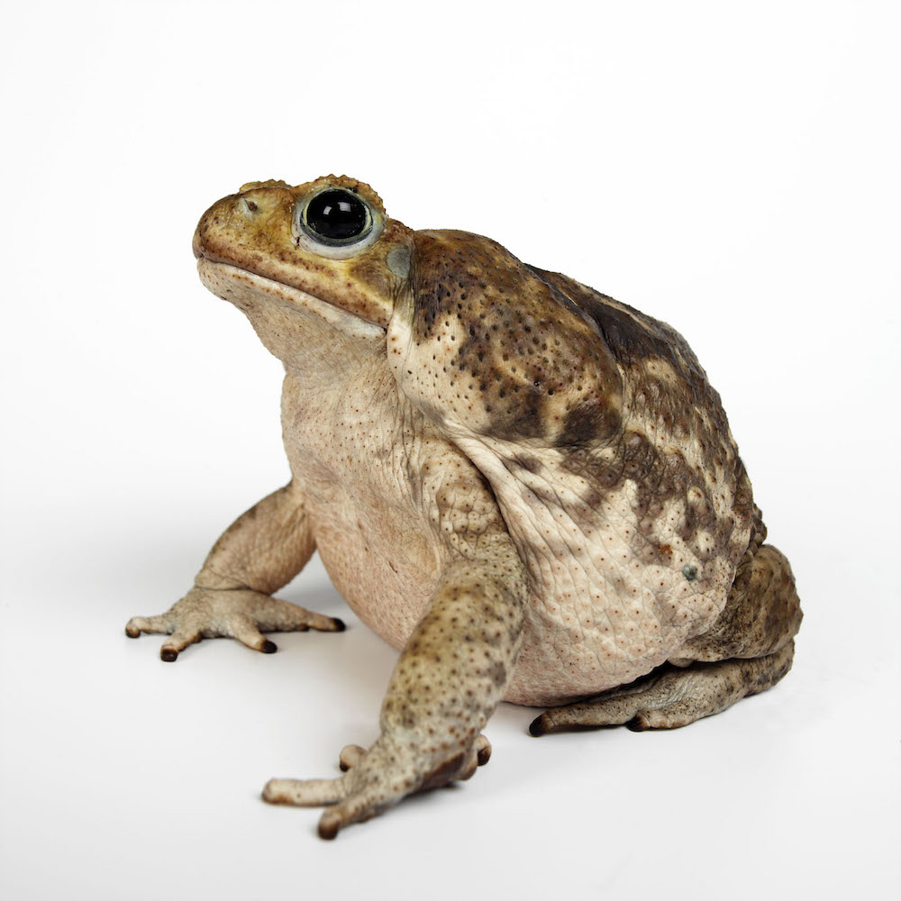 Cane toad (Rhinella marina). Photo Animal Ark