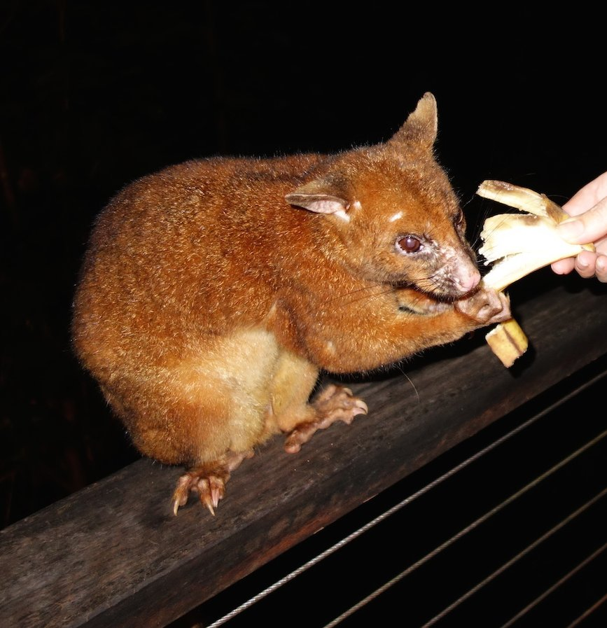 Coppery brush tail possum - Queensland. © Animal Ark