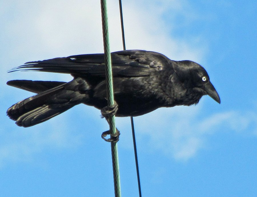 Corvus coronoides. Photo Flickr Newtown Grafitti, Commons Wikimedia