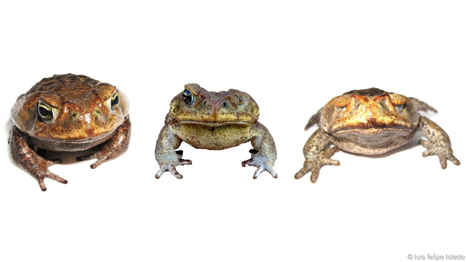 Cururu-toad; one healthy, one half blind, one totally blind. Photo Luis Felipe Toledo