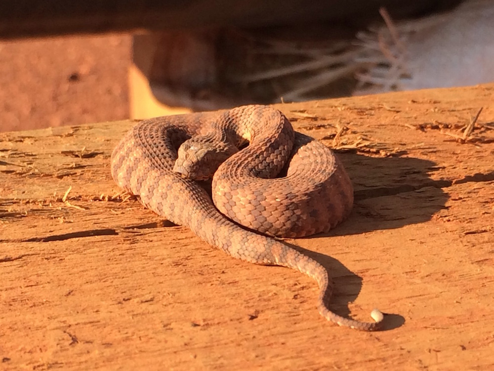 Death adder (Acanthophis). Photo © Adam Meredith, Sept 2014