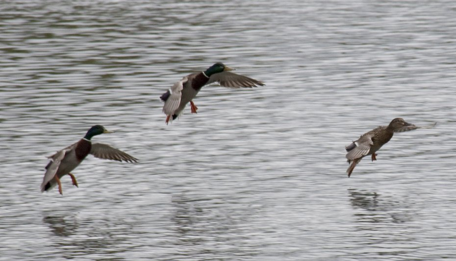 Ducks landing. Photo Tony Hisgett, Wikicommons