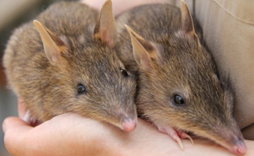 Eastern barred bandicoots. Photo © Zoos Victoria