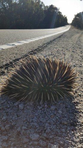 Echidna on road. Photo: Ziggy Nielsen, Animal Ark