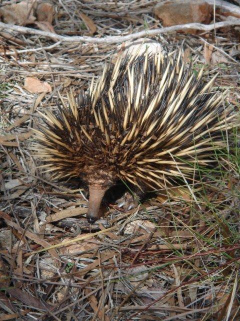 Echidna (Tachyglossus aculeatus), Yardie Creek, Western Australia. Photo: Animal Ark