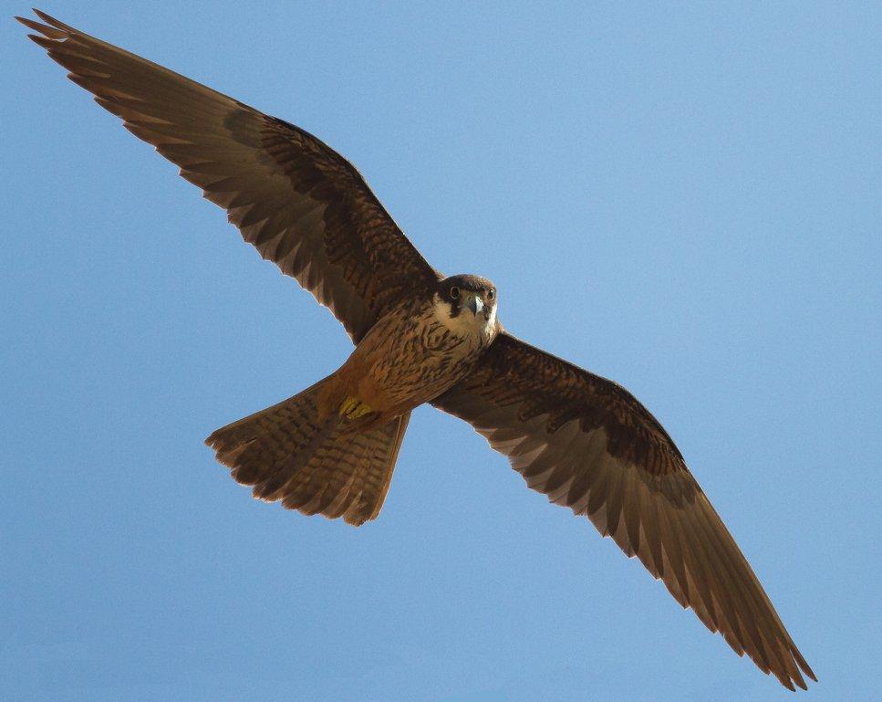 Eleonoras Falcon (Falco eleonorae). Photo: Jurgen Dietrich, Wikimedia Commons