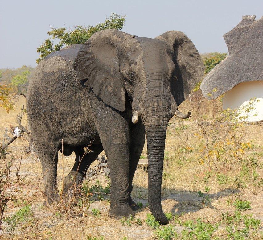 Elephant in Hwange National Park, Zimbabwe. Photo: Animal Ark