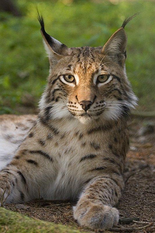 Eurasion lynx (Lynx lynx). Photo © Bernard Landgraf.