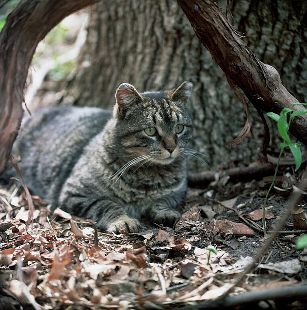 Feral Cat Buster. Photo Professor Batty, wikicommons