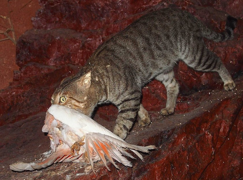 Feral cat with galah - Central Australian Museum, Alice Springs. Photo Mark Marathon, wikicommons