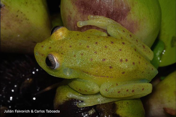 Fluorescing Polka-dot frog under normal light. Photo: Julian Faivovich and Carlos Taboada