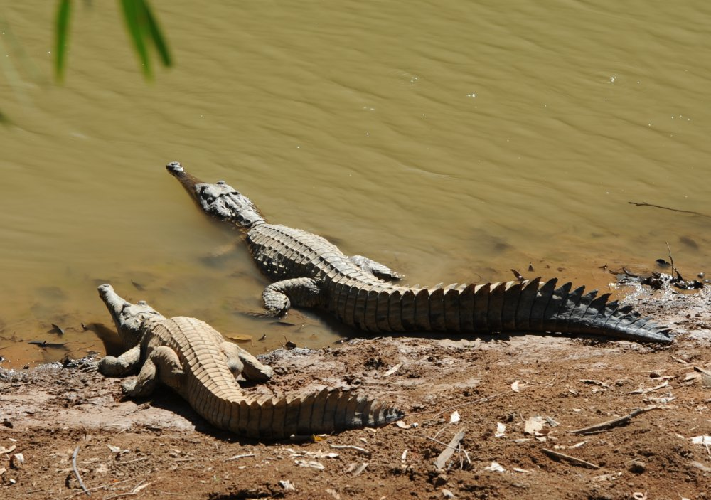 Freshwater crocodile (Crocodylus johnsoni) - Windjana Gorge. Photo Alan Hodson