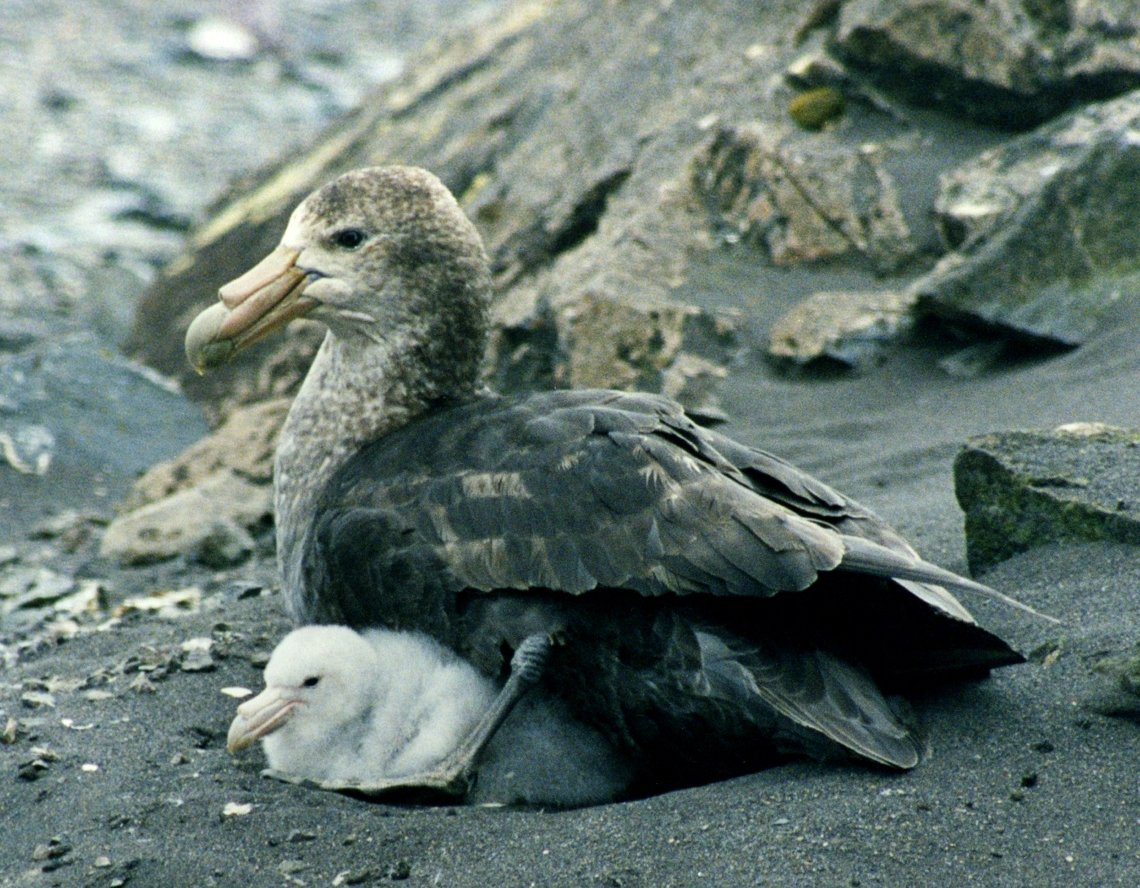 Giant Petrel (Macronectes giganteus) with chicks. Photo Brocken Inaglory, Wikicommons