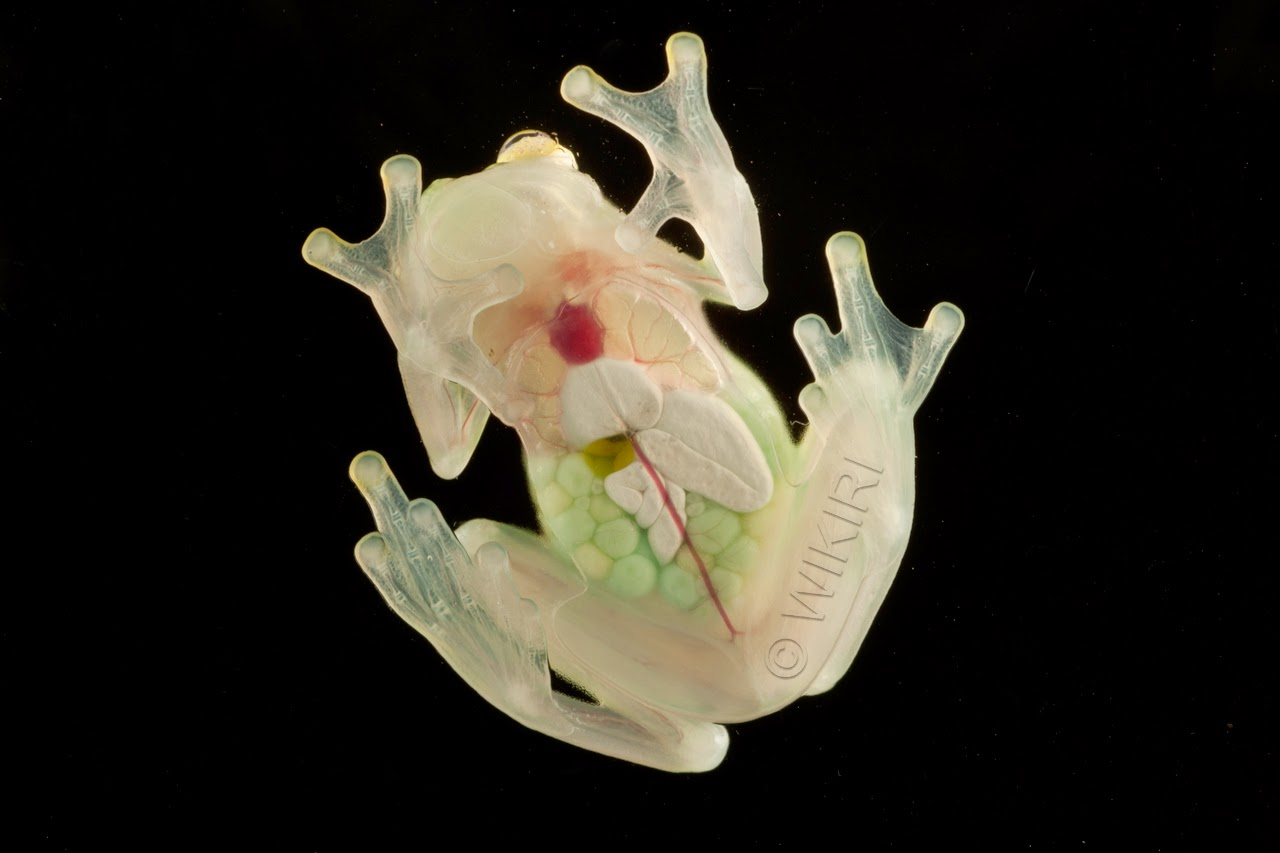 Glass Frog (Hyalinobatrachiu aureoguttatum) ventral. Photo Wikiri