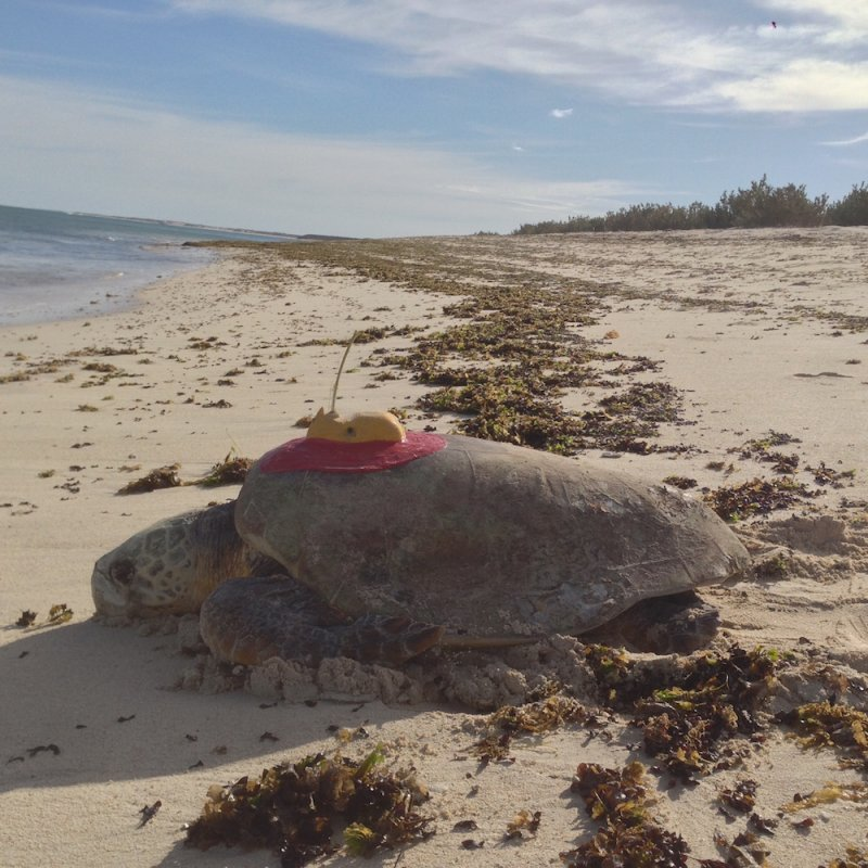 Gnaraloo Turtle Conservation Program - tracking Loggerhead turtle (Caretta caretta). Photo GTCP