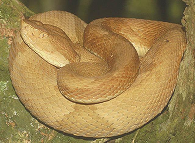 Golden Lancehead Viper / Jararaca Ilhoa (Bothrops insularis). Photo: Otavio Marques, Instituto Butantan, Commons Wikimedia