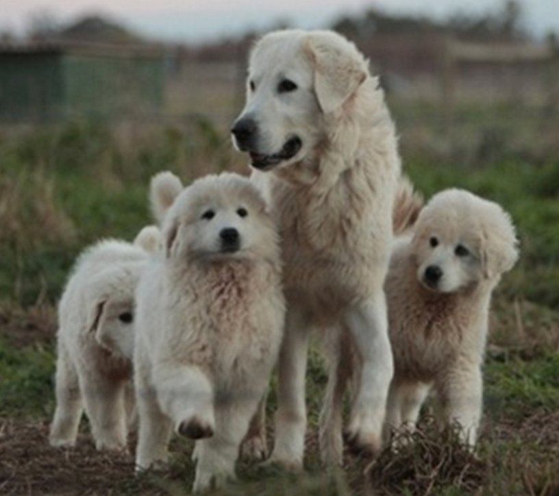 A group of Maremma dogs. Photo © Beate Sexto