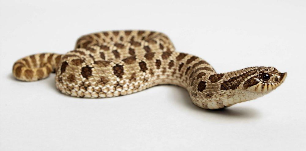 Hog nosed snake (US). Photo Animal Ark
