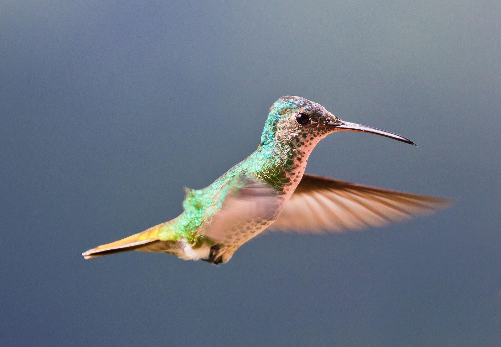 Hummingbird flying - Golden tailed sapphire hummingbird (Chrysuronia oenone), Venezuela. Photo Marcial4, Commons Wikimedia