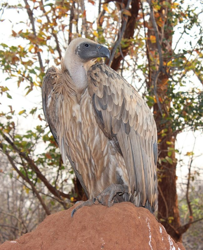 Judge white-backed vulture, VFWT. Photo: Animal Ark