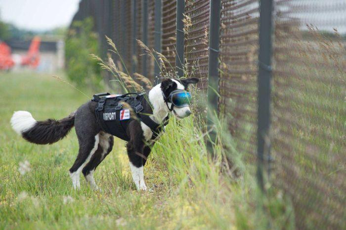 K-9 Piper, airport dog. Photo airportk9.org, via ABC.com