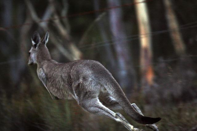 Kangaroo hopping. Photo Eva Rinaldi, Wiki Commons