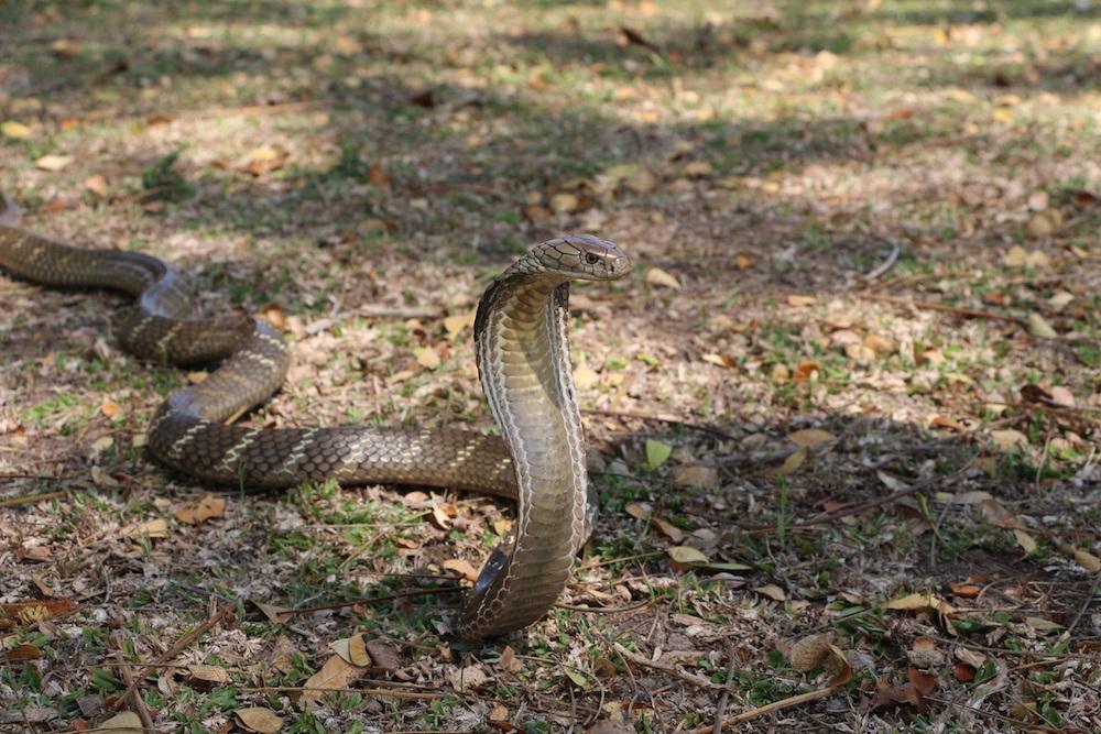 King cobra (Ophiophagus hannah). Photo Javier Perez de Arce