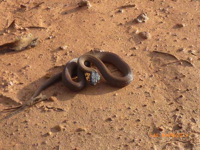 Lake Cronin snake (Paroplocephalus atriceps). Photo Ashleigh Harris, Westerns Areas Forrestania