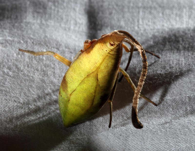 Leaf-mimicking spider. Photo: Matjaz Kunter, nationalgeographic.com