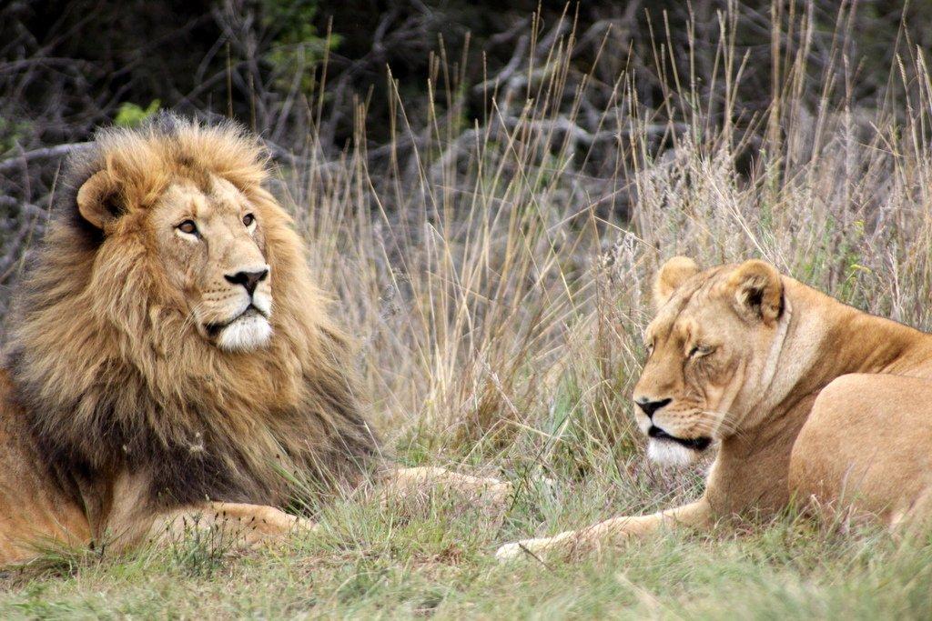 Lions in Krugersdorp game reserve. Photo © Derek Keats