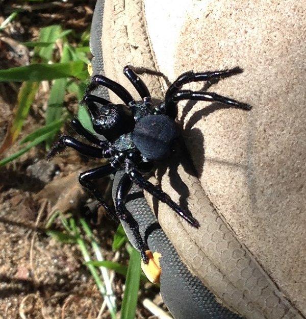 Mouse spider (Missulena sp) Star Swamp, June 2015. Photo: Animal Ark