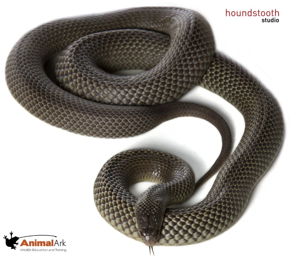 Mulga / King Brown (Pseudechis australis) coiled. Photo © Alex Cearns Houndstooth Studio / Animal Ark