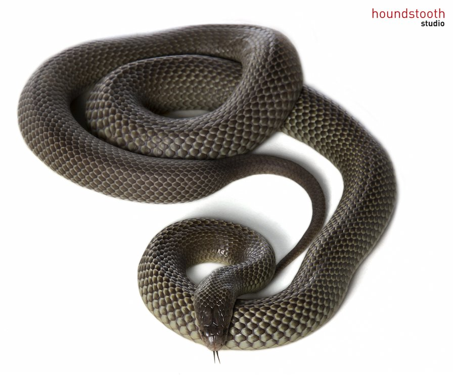 Mulga snake (Pseudechis australis) coiled. Photo © Alex Cearns Houndstooth Studio / Animal Ark