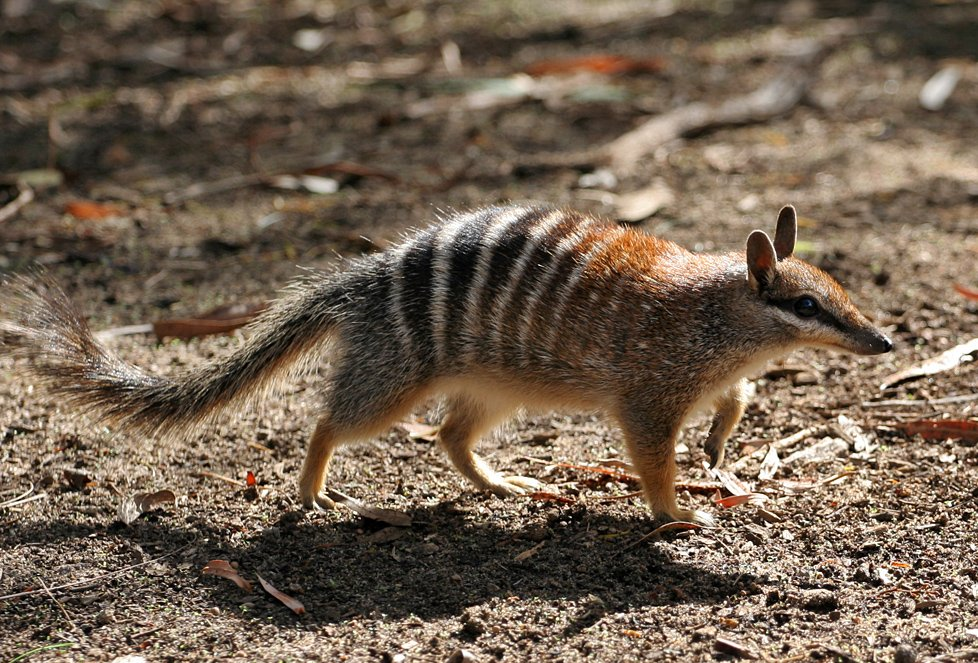 Numbat, Perth zoo. Photo Martin Pot (Martybugs) at Wikipedia