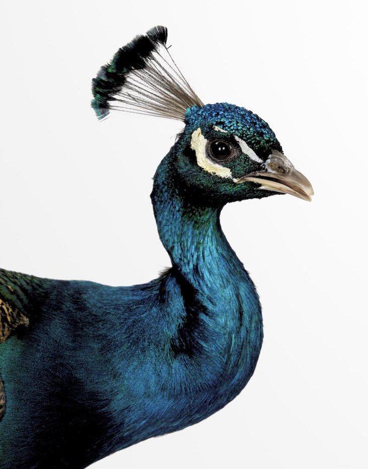 Peacock. Photo Animal Ark