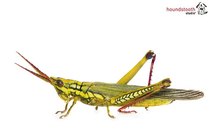 Pilbara grasshopper. Photo Alex Cearns Houndstooth Studio