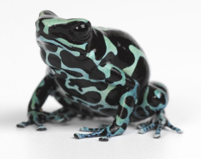 Poison arrow frog blue. Photo Animal Ark