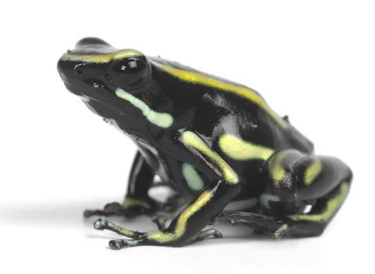 Poison arrow frog. Photo Animal Ark