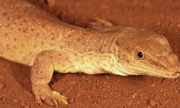 Pokey - new WA lizard, Dampier Peninsula. Goanna (Varanus spurnus)