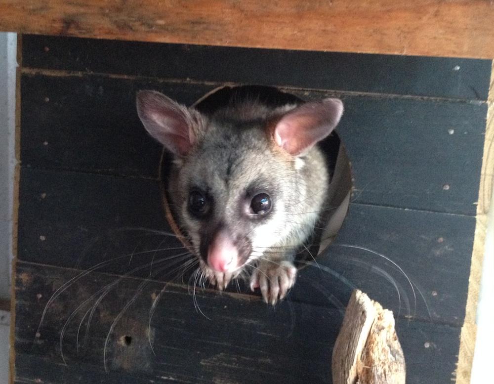 Possum in box. Photo © Animal Ark